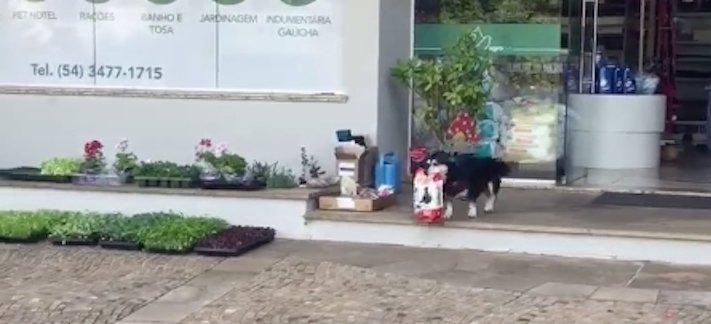 pes chodí sám nakupovat na nákup do obchodu výcvik psa1