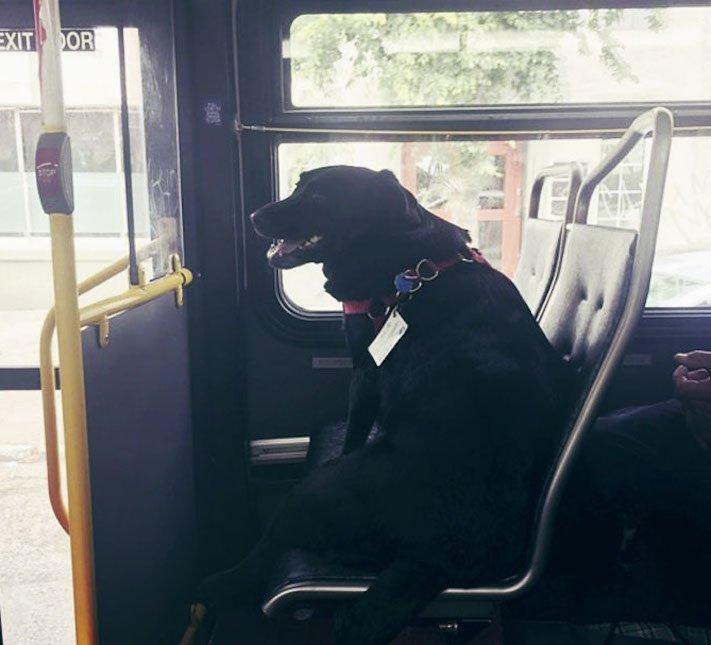 labradorský retrívr labrador pes cestuje sám v autobuse MHD psí samostatnost1