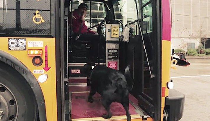 labradorský retrívr labrador pes cestuje sám v autobuse MHD psí samostatnost2