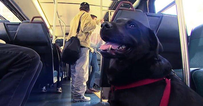 labradorský retrívr labrador pes cestuje sám v autobuse MHD psí samostatnost3