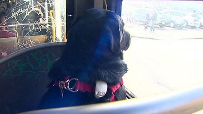 labradorský retrívr labrador pes cestuje sám v autobuse MHD psí samostatnost4