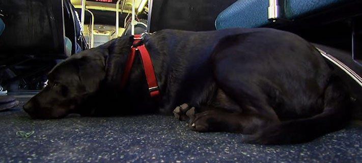 labradorský retrívr labrador pes cestuje sám v autobuse MHD psí samostatnost5