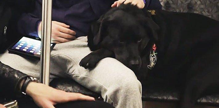 labradorský retrívr labrador pes cestuje sám v autobuse MHD psí samostatnost6