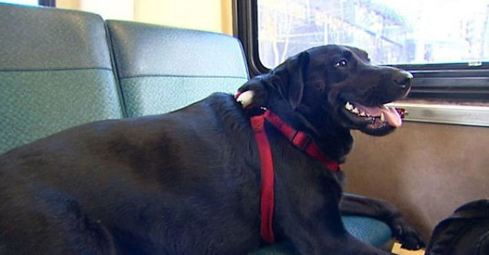 labradorský retrívr labrador pes cestuje sám v autobuse MHD psí samostatnost10