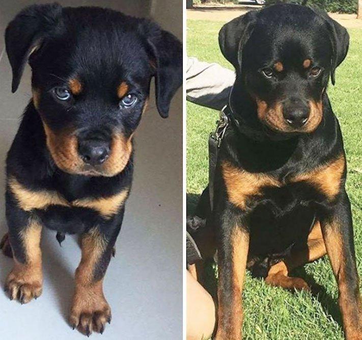 vyrůstání dospívání psů psa stárnutí rozdíly u psů během věku obrázky3