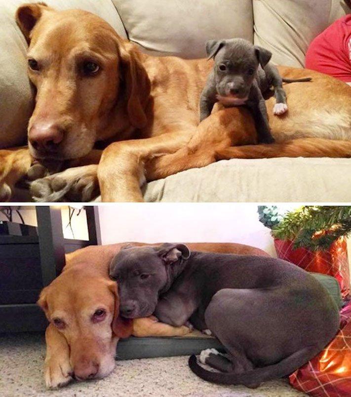 vyrůstání dospívání psů psa stárnutí rozdíly u psů během věku obrázky2
