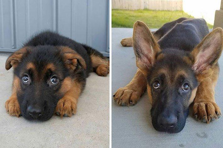 vyrůstání dospívání psů psa stárnutí rozdíly u psů během věku obrázky16