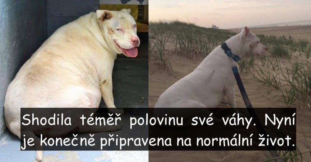 pes je tlustý co dělat nadváha psa řešení příbeh obézní pes proměna jak snížit váhu u psa náhled