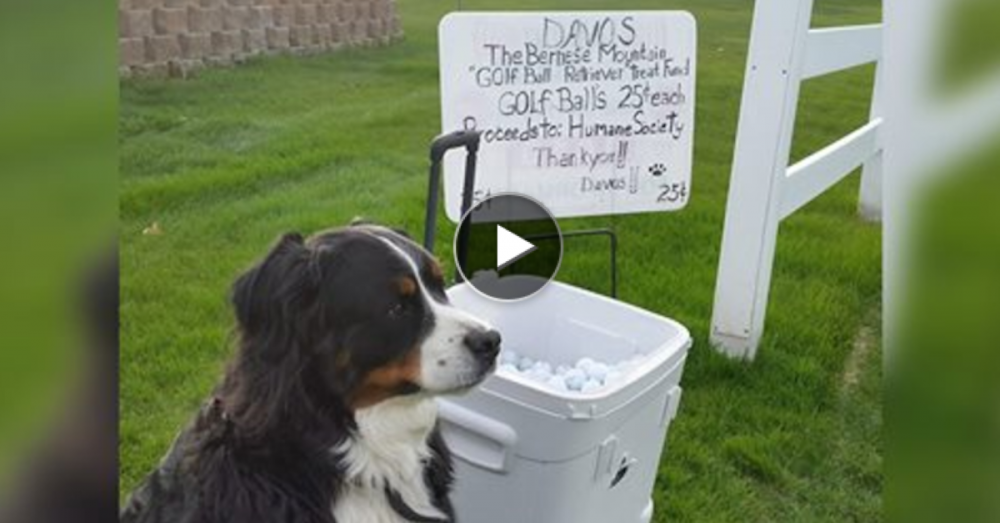 bernský salašnický pes hledá golfové míčky pro pomoc útulku útulky náhled