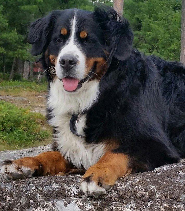 bernský salašnický pes hledá golfové míčky pro pomoc útulku útulky1a