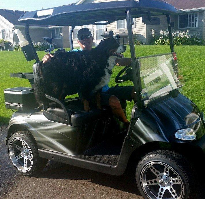 bernský salašnický pes hledá golfové míčky pro pomoc útulku útulky2