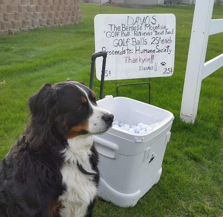 bernský salašnický pes hledá golfové míčky pro pomoc útulku útulky3