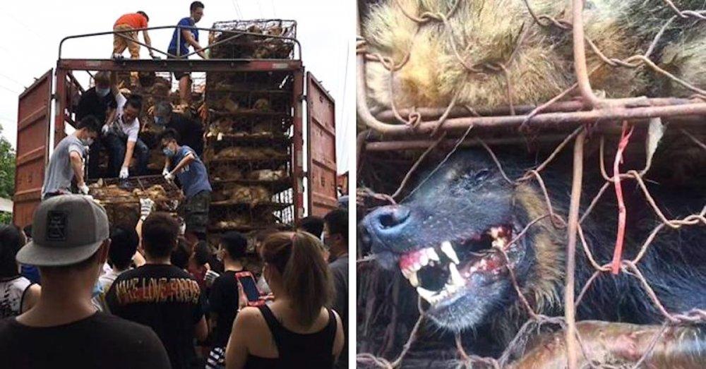 psi v číně převoz psů na jatka záchrana převážených psů čína a psi NÁHLED