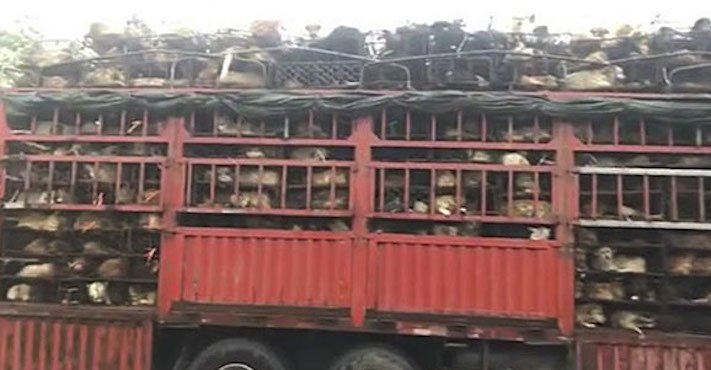psi v číně převoz psů na jatka záchrana převážených psů čína a psi1