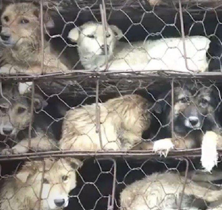 psi v číně převoz psů na jatka záchrana převážených psů čína a psi2