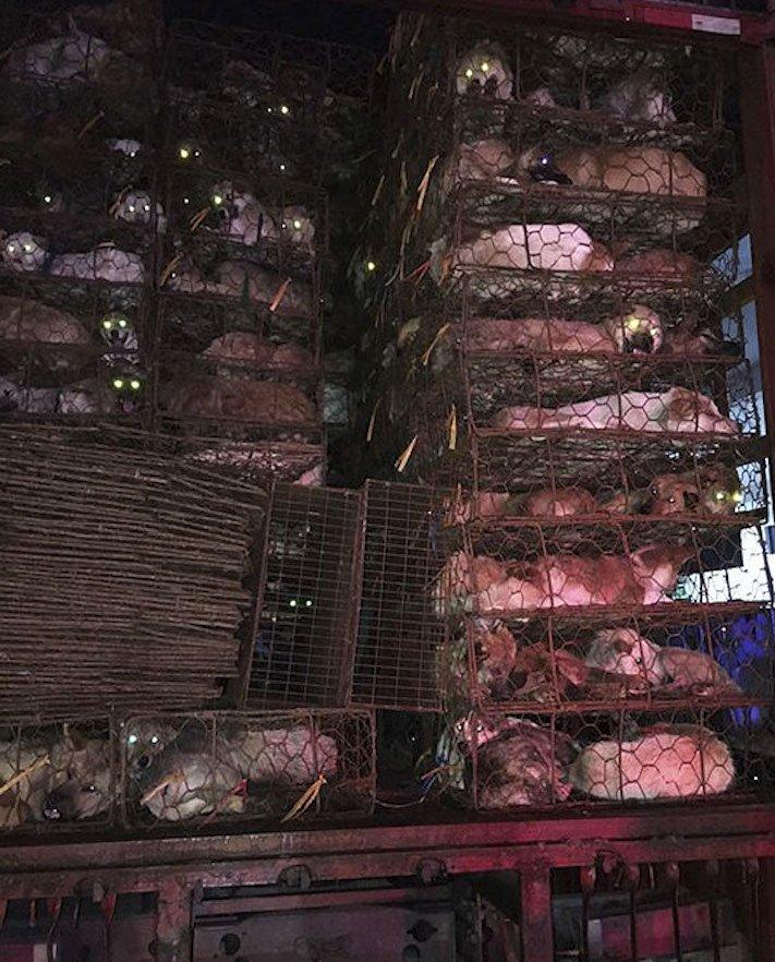 psi v číně převoz psů na jatka záchrana převážených psů čína a psi3