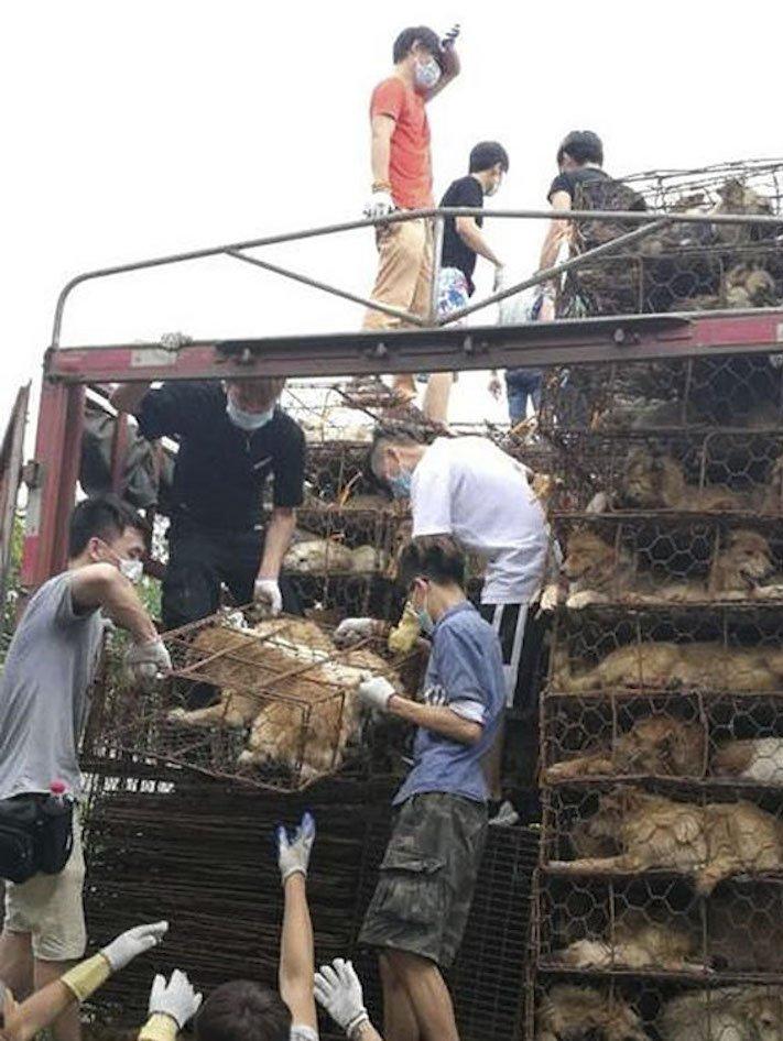 psi v číně převoz psů na jatka záchrana převážených psů čína a psi7