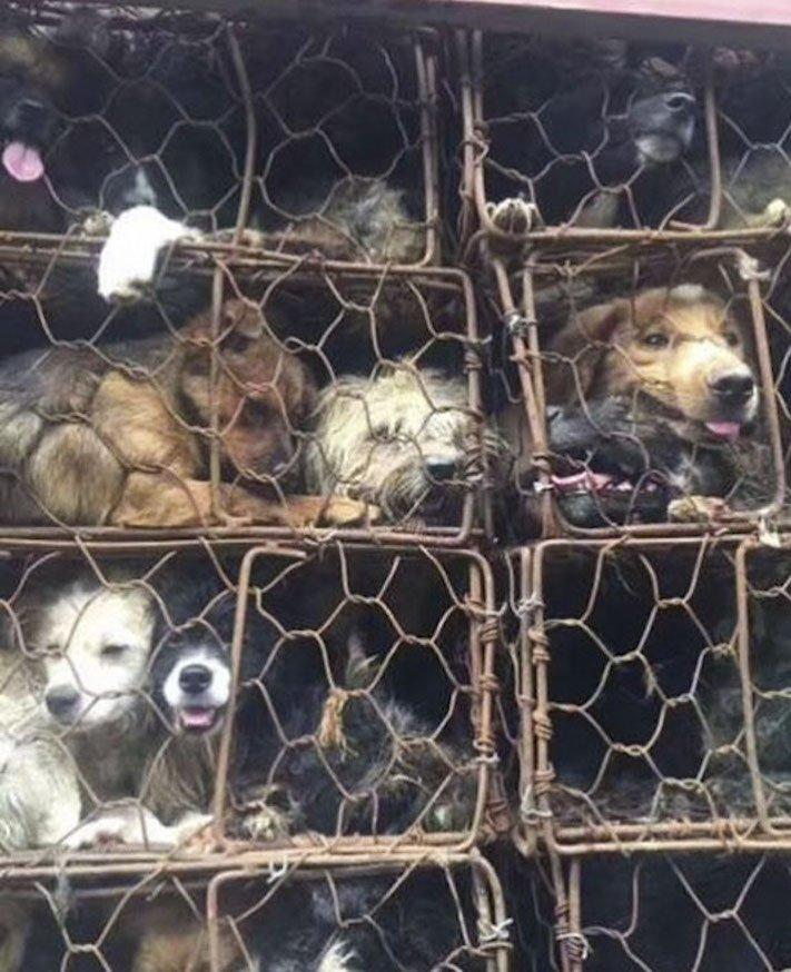 psi v číně převoz psů na jatka záchrana převážených psů čína a psi8