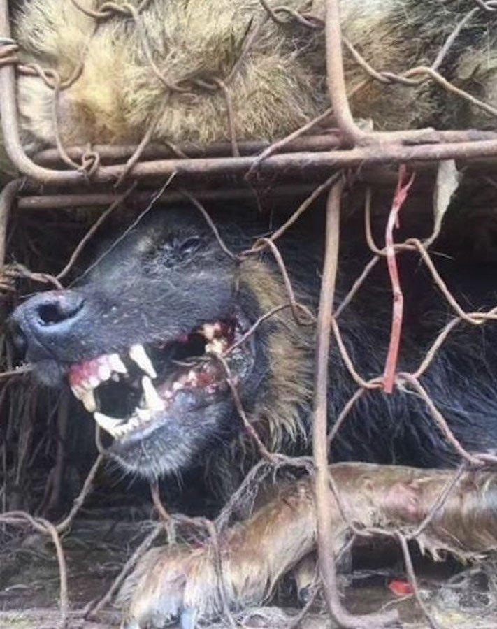 psi v číně převoz psů na jatka záchrana převážených psů čína a psi9