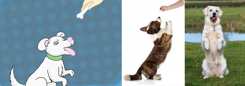 jak naučit psa chodit na zadních chůze psů po zadních nohách výcvik a výchova