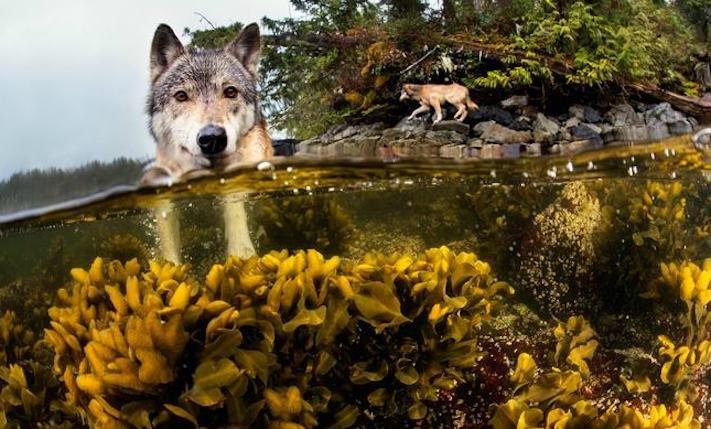 vlk a pes porovnání se psem vlkem vzácný mořský vlk v přírodě1