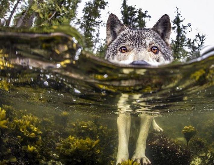 vlk a pes porovnání se psem vlkem vzácný mořský vlk v přírodě2