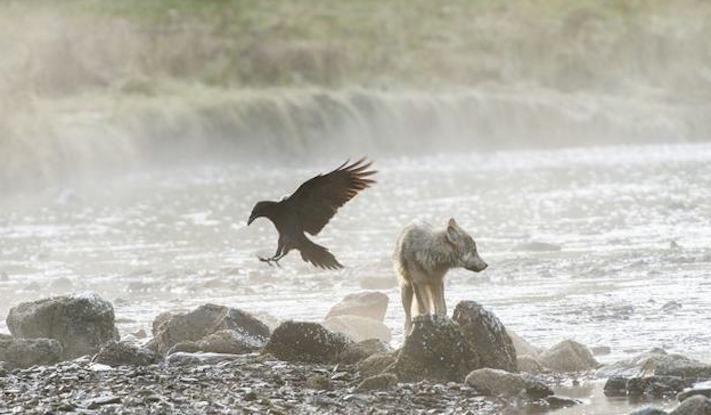 vlk a pes porovnání se psem vlkem vzácný mořský vlk v přírodě3