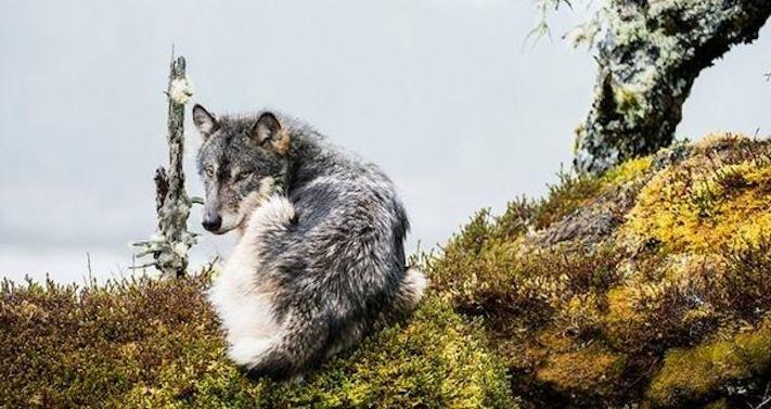 vlk a pes porovnání se psem vlkem vzácný mořský vlk v přírodě4