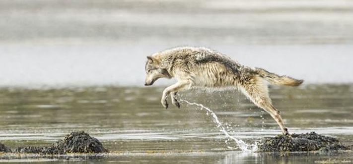 vlk a pes porovnání se psem vlkem vzácný mořský vlk v přírodě5