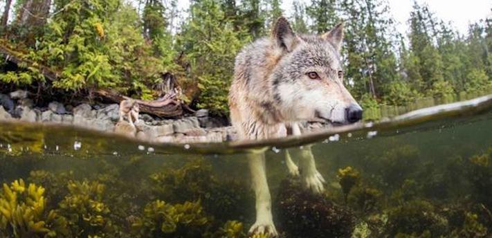 vlk a pes porovnání se psem vlkem vzácný mořský vlk v přírodě6