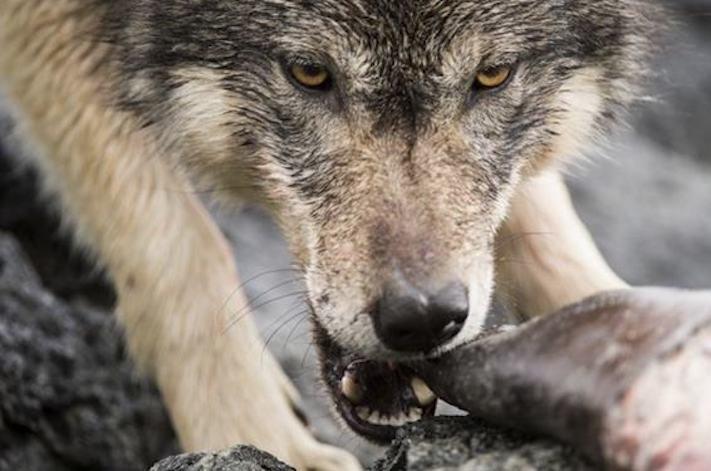 vlk a pes porovnání se psem vlkem vzácný mořský vlk v přírodě7