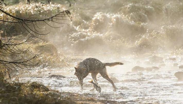 vlk a pes porovnání se psem vlkem vzácný mořský vlk v přírodě8