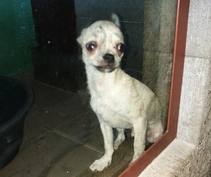 týraní psů v české republice ve zverimexech zoo faktor shop čivava2