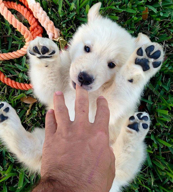 pes vypadá jako medvěď štěně medvídě medvíďata obrázky obrázek fotografie fotky video videa roztomilí psi_1