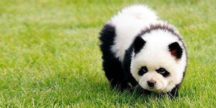 pes vypadá jako medvěď štěně medvídě medvíďata obrázky obrázek fotografie fotky video videa roztomilí psi_2