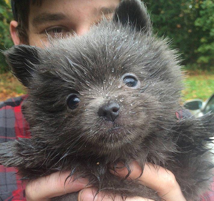 pes vypadá jako medvěď štěně medvídě medvíďata obrázky obrázek fotografie fotky video videa roztomilí psi_3