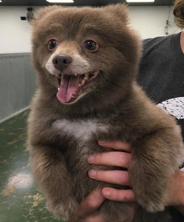 pes vypadá jako medvěď štěně medvídě medvíďata obrázky obrázek fotografie fotky video videa roztomilí psi_4