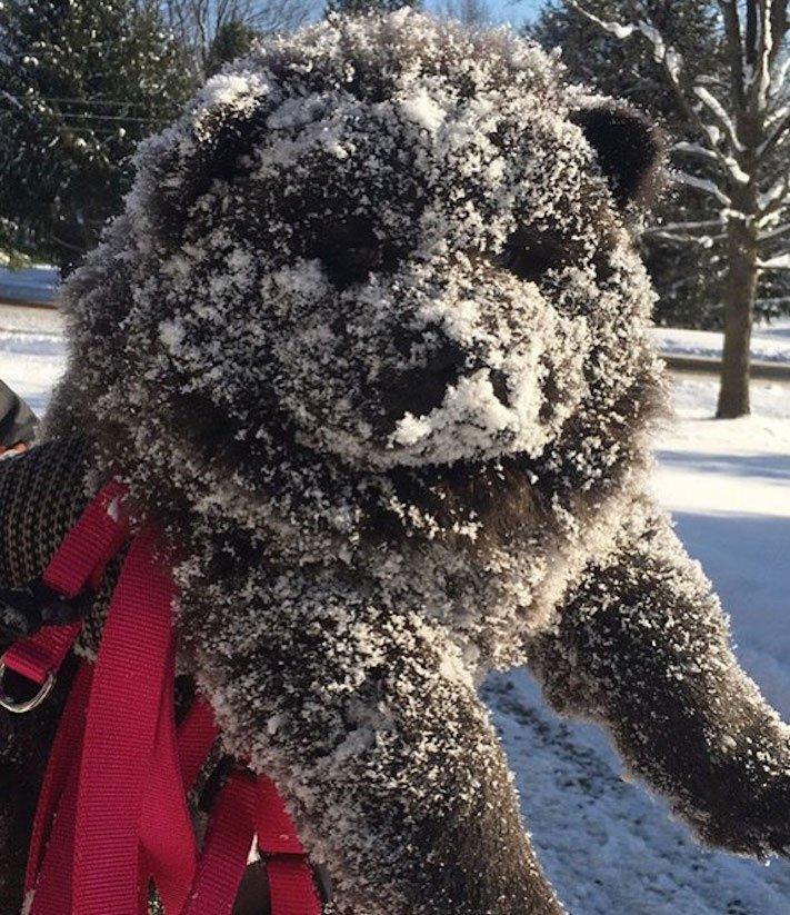 pes vypadá jako medvěď štěně medvídě medvíďata obrázky obrázek fotografie fotky video videa roztomilí psi_6