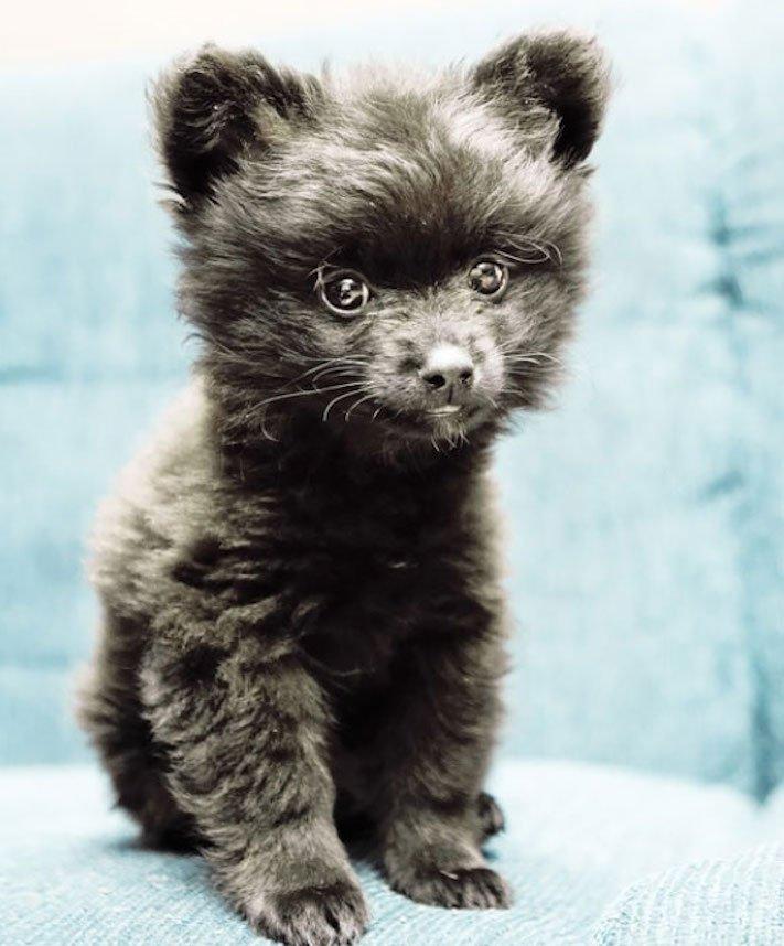 pes vypadá jako medvěď štěně medvídě medvíďata obrázky obrázek fotografie fotky video videa roztomilí psi_7