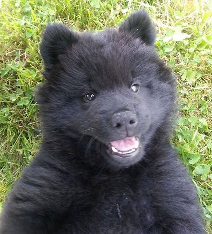 pes vypadá jako medvěď štěně medvídě medvíďata obrázky obrázek fotografie fotky video videa roztomilí psi_8