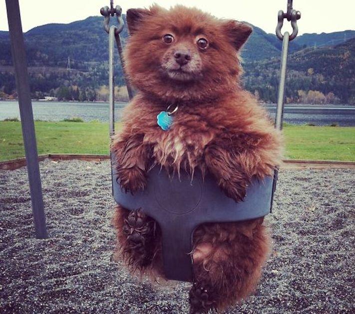 pes vypadá jako medvěď štěně medvídě medvíďata obrázky obrázek fotografie fotky video videa roztomilí psi_11