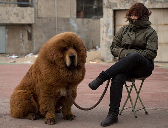 pes vypadá jako medvěď štěně medvídě medvíďata obrázky obrázek fotografie fotky video videa roztomilí psi_15