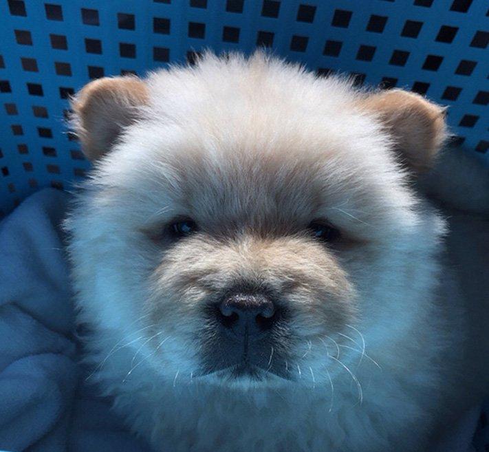 pes vypadá jako medvěď štěně medvídě medvíďata obrázky obrázek fotografie fotky video videa roztomilí psi_16