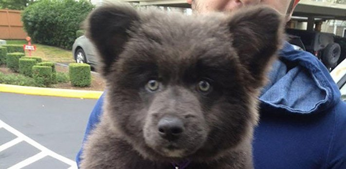 pes vypadá jako medvěď štěně medvídě medvíďata obrázky obrázek fotografie fotky video videa roztomilí psi_17