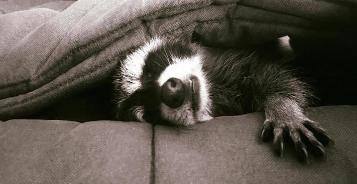mládě mývala mýval mývalčata mývalče pes se psem v české republice čr adopce chov chování_8