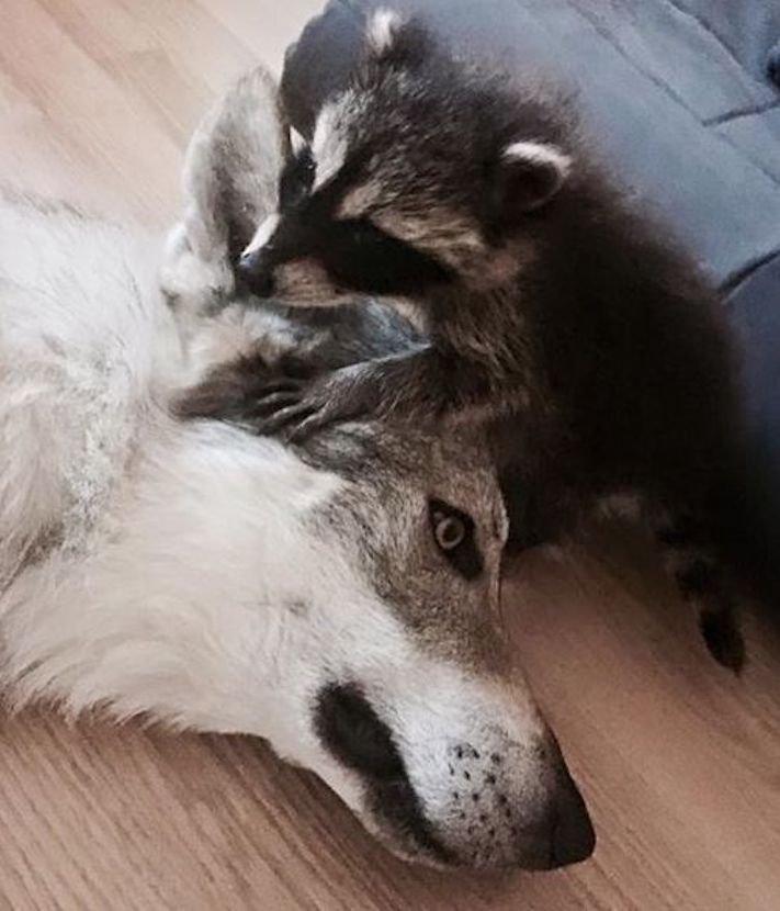 mládě mývala mýval mývalčata mývalče pes se psem v české republice čr adopce chov chování_11