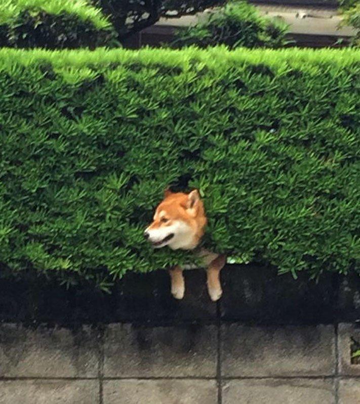 shiba inu uvíznutý uvízly zaselký pes v plotě plotu v živém křoví vtipné obrázky se psy psem psi 1