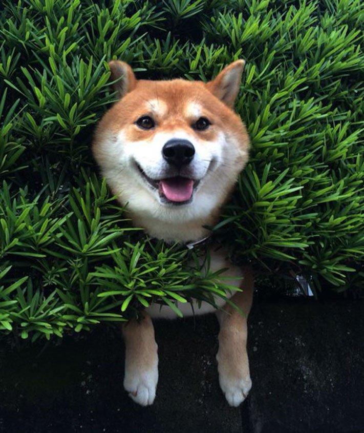 shiba inu uvíznutý uvízly zaselký pes v plotě plotu v živém křoví vtipné obrázky se psy psem psi 2