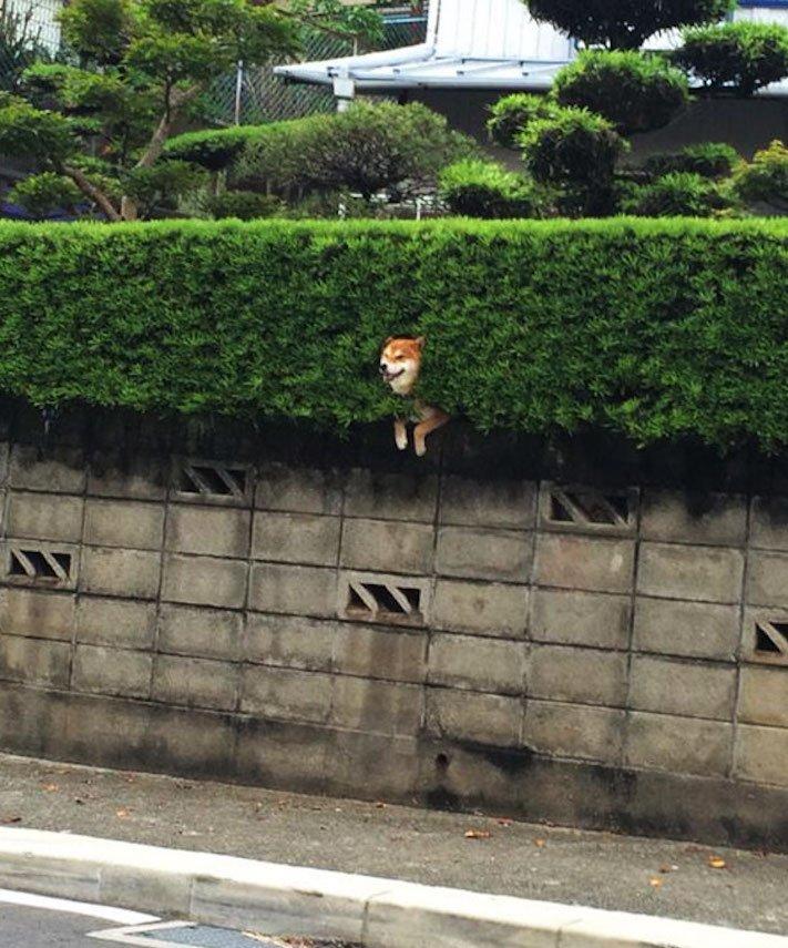 shiba inu uvíznutý uvízly zaselký pes v plotě plotu v živém křoví vtipné obrázky se psy psem psi 3
