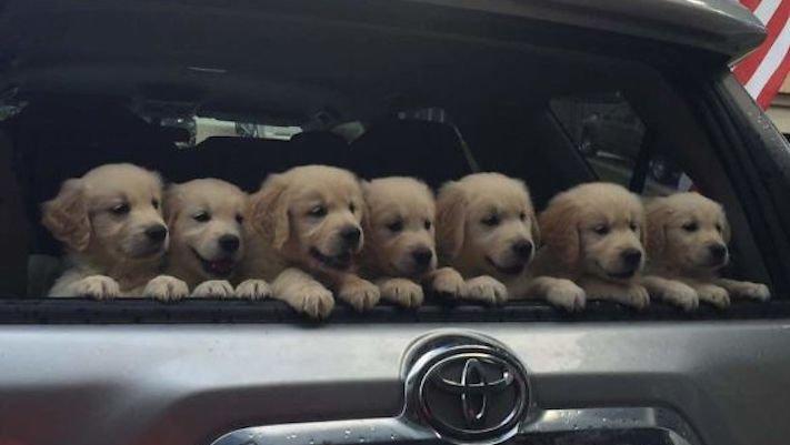 štěně zlatého retrívra štěňata puppy puppies golden retriever 1